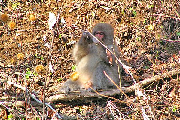 北限の猿(ニホンザル) | 下北...
